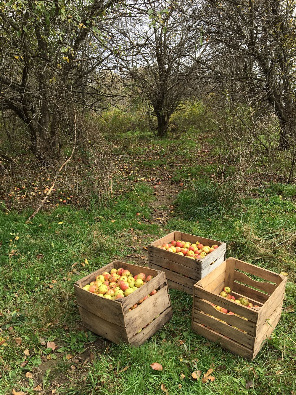 Above: A cluster of wild apple trees that provided a couple bushels of apples.