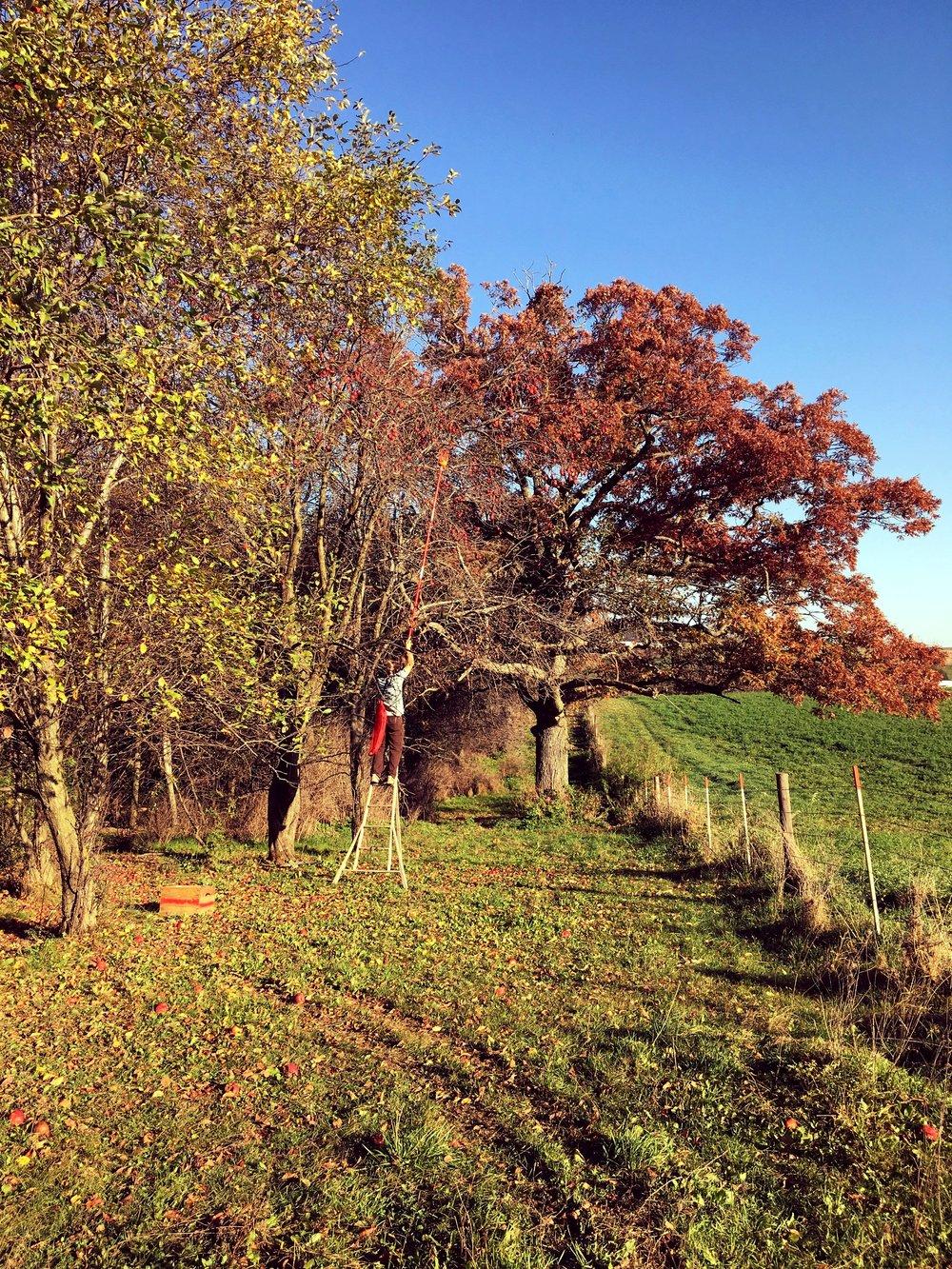 Above: Matt on a ladder picking from a wild apple tree
