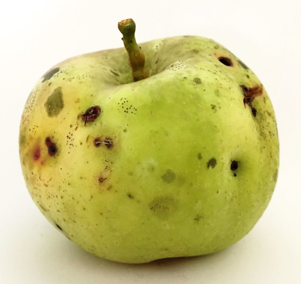 Perry Russet Apple