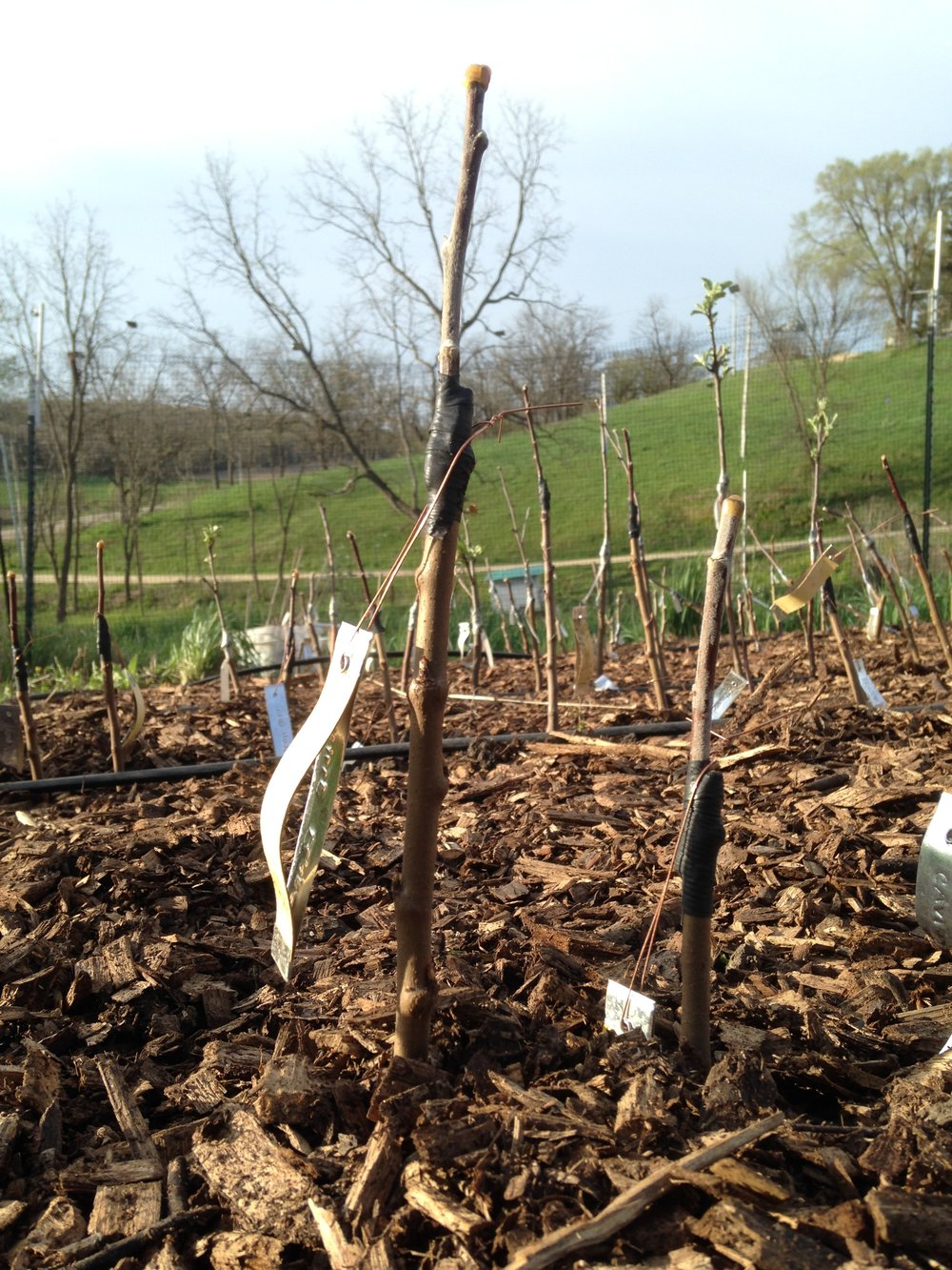 "Above: Grafted trees in our 2016 nursery (a.k.a. ""sticks taped together"")"