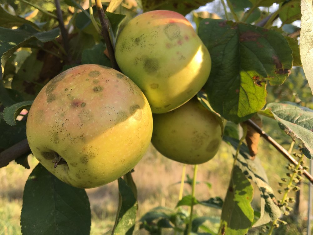 Above:  The black smudges and spots on these apples are sooty blotch and flyspeck.  Both are just cosmetic and do not affect the quality of the apple.