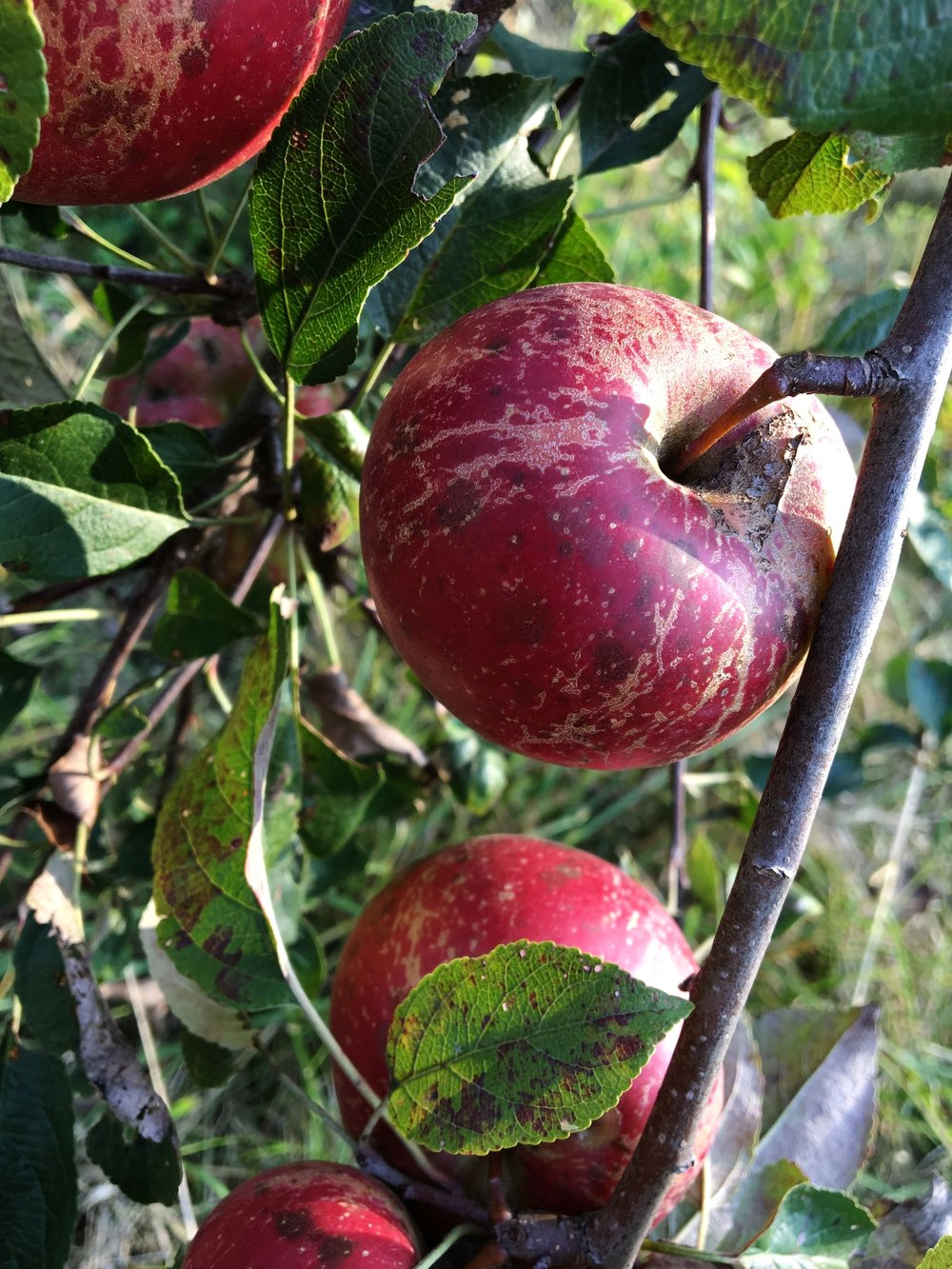 "Above:  Some ""ugly"" apples growing in our orchard"