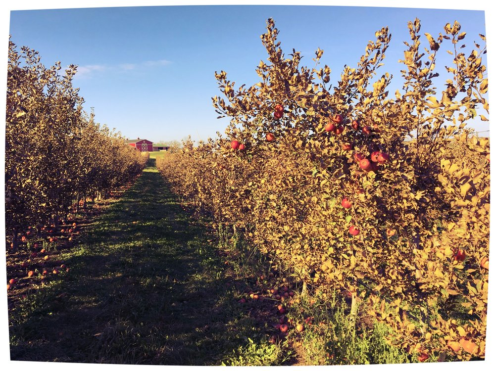 Above:  End of the harvest.  The last of the apples hanging on the trees at Munchkey Apples.