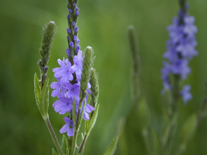 Blue Vervain And All Her Glory