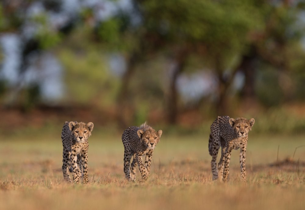 cheetah-20.jpg