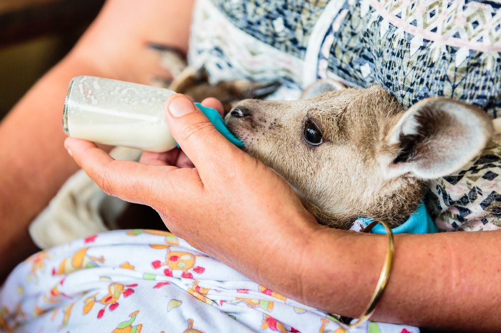 An orphaned joey who is being handraised by a wildlife carer in Queensland, Australia.