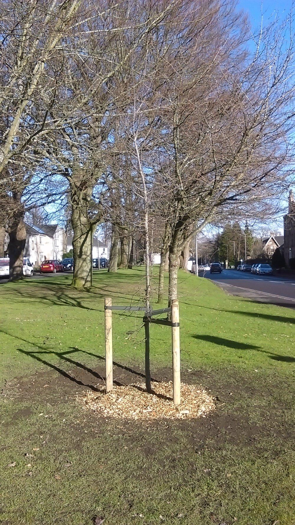 Planting standard trees 2.jpg