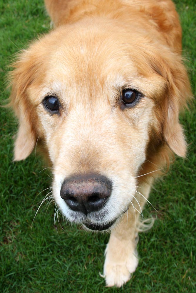 Golden Retriever 2.jpg