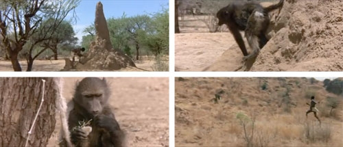 Wise African tricks the baboon. He lures the baboon in, traps him, feeds him salt, and follows him to the water.