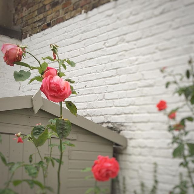 Summer in the city. #gardenroses #citygarden #backyardbliss #britishflowers #brickwalls #summersup