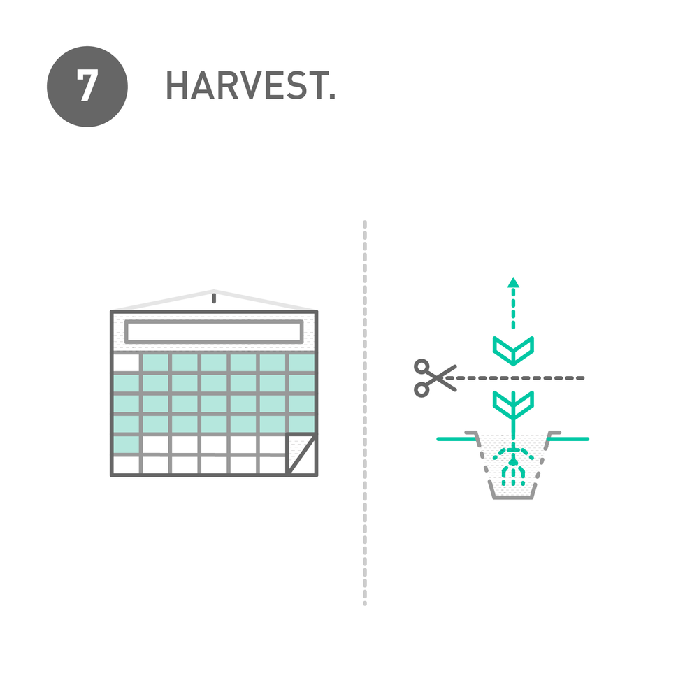 Your first harvest should be ready within 4 weeks with weekly harvests there-after.
