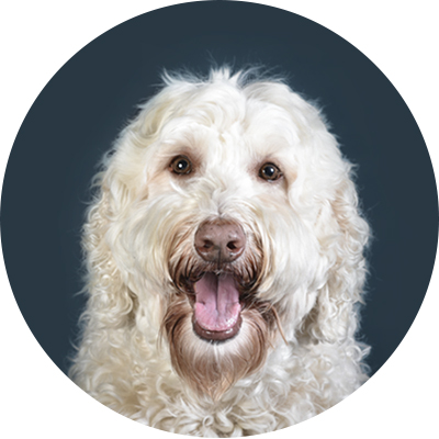 Labradoodle_Vancouver_pet_photography.jpg