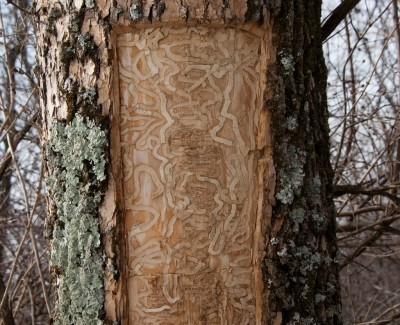 peeling-ash-bark-400x325.jpg