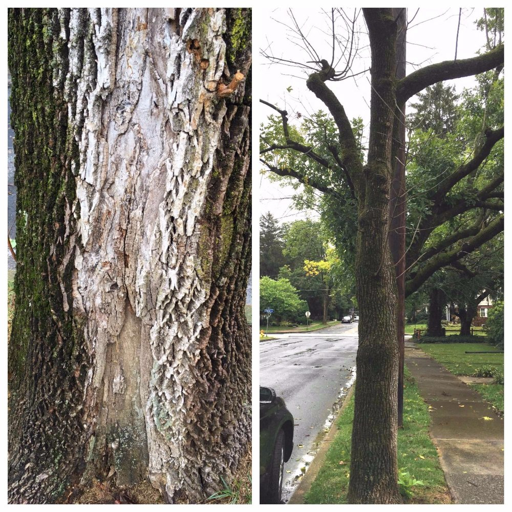 ash.tree.damage.collage.jpg