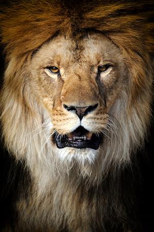 justinjgcooper.com-Lion