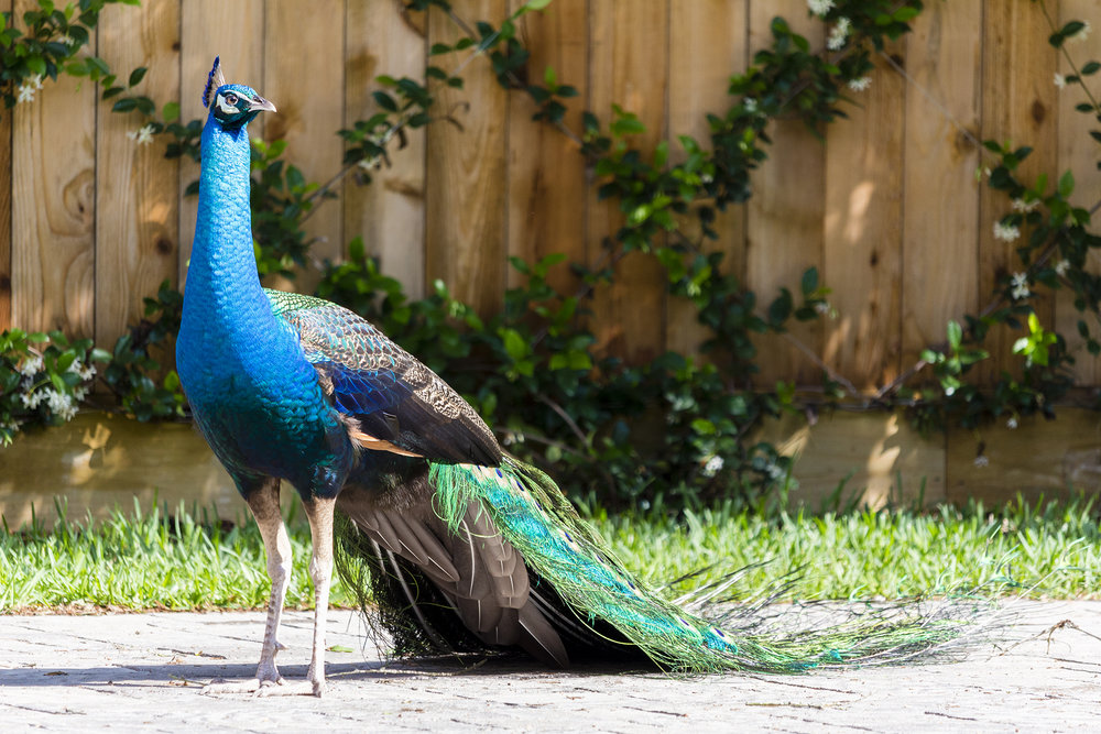 Peacock (4).jpg