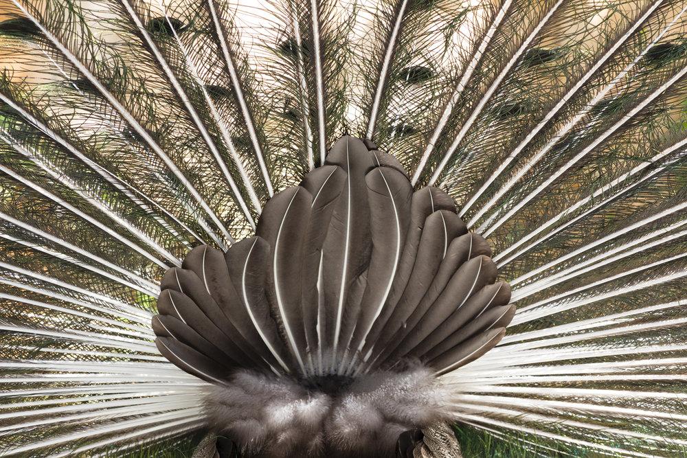 Peacock (3).jpg