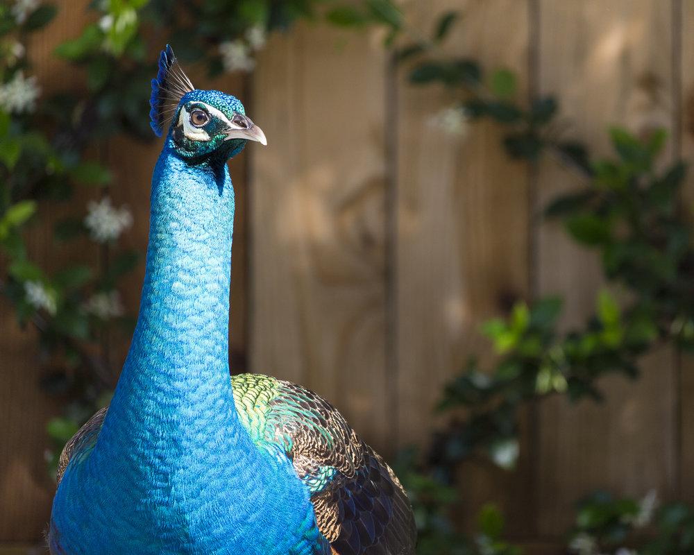 Peacock (6).jpg