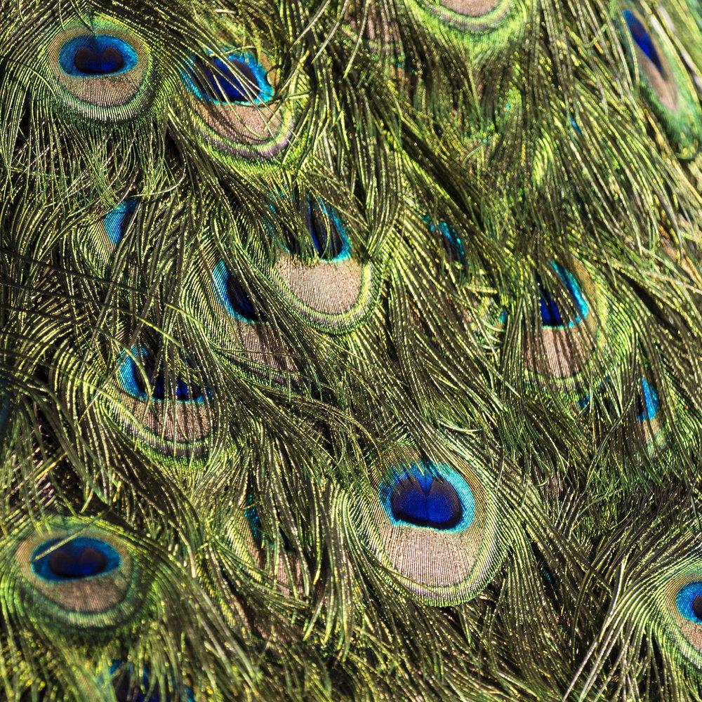 Peacock (10).jpg