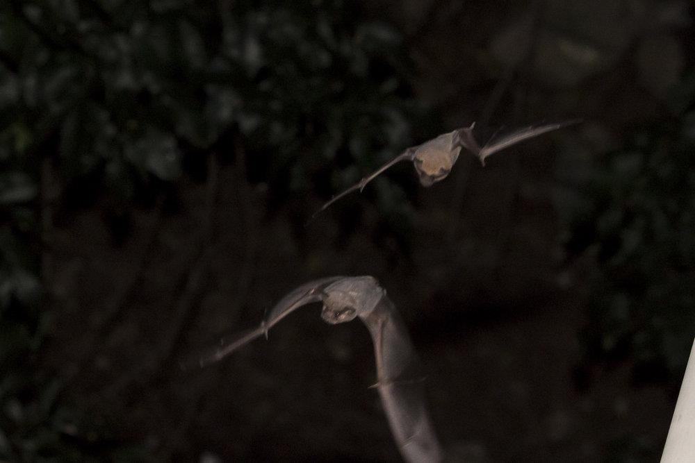 Bats_4.JPG