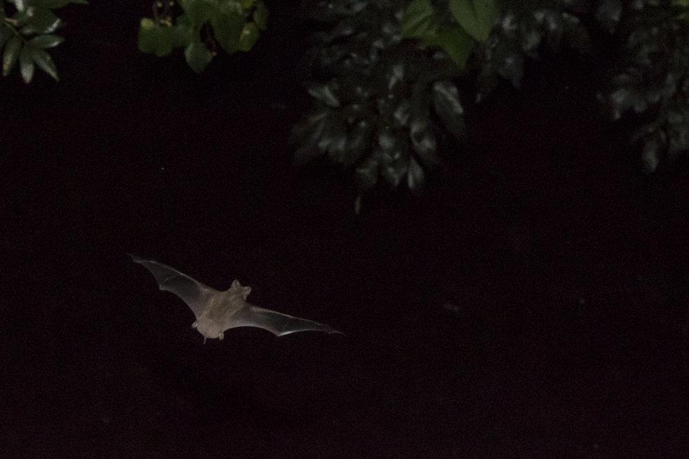 Bats_7.JPG