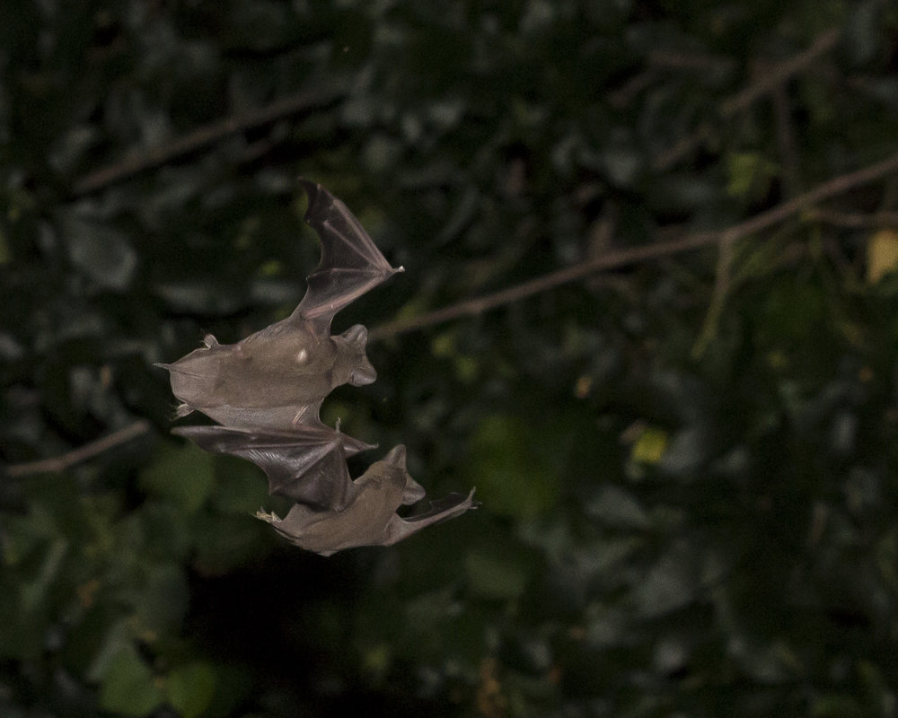 Bats_11.JPG