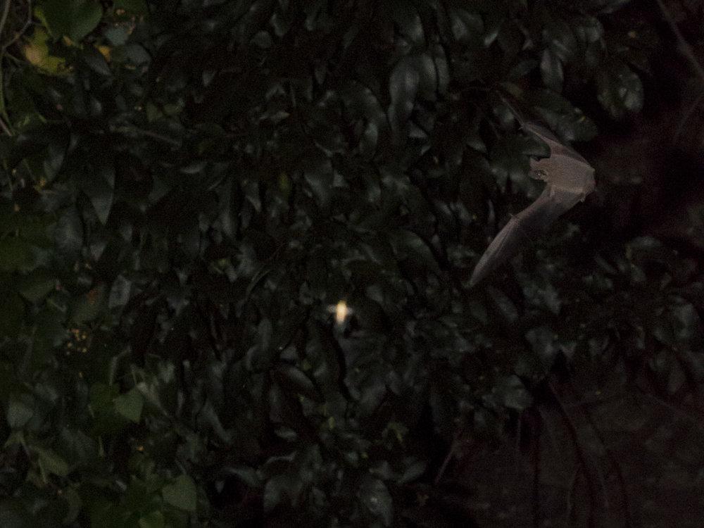 Bats_16.JPG