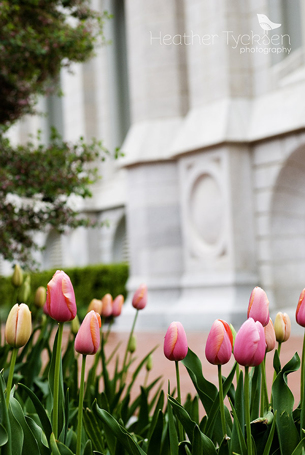 Pink tulips at Temple Square