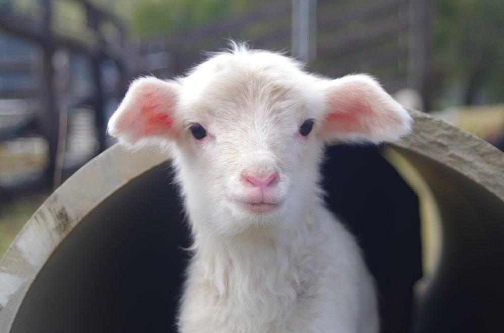 Visit My Farm Australia - Ewetopia, Ellenborough NSW