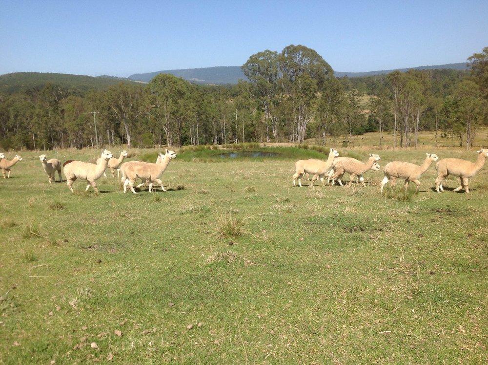 Visit My Farm Australia - Big Sky Alpacas, Old Bonalbo NSW