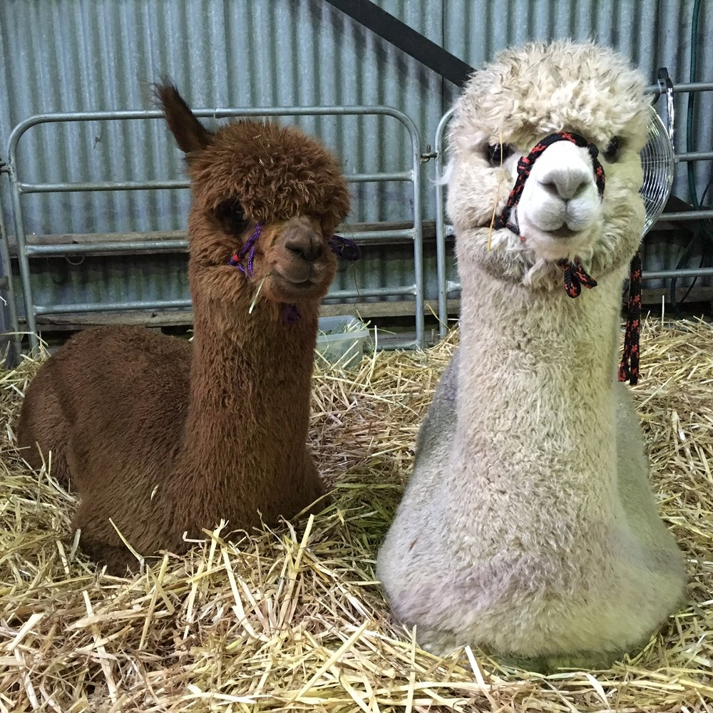 Visit My Farm - Rosehaven Alpacas, Haven VICTORIA