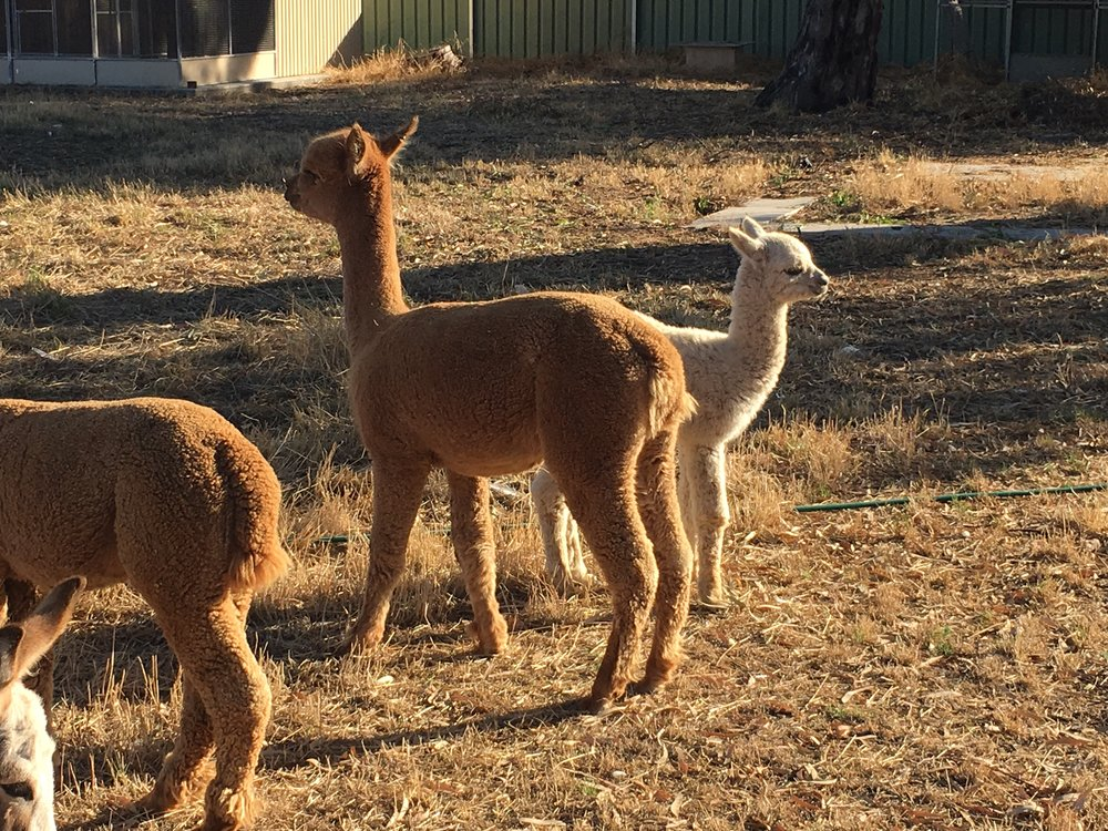Visit My Farm Australia - Rosehaven Alpacas, Haven VIC