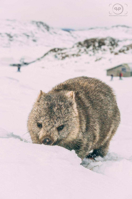 Tasmanian Wombat