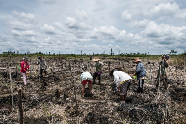 Villagers preparing, clearing and replanting burned peatland in Central Kalimantan. Peat soil is very acidic and not suitable for most crops without significant effort and inputs in the form of fertilizers.  Peat is however suitable for growing of native peat species (paludiculture) like rattan, sago, jelutung (latex) and many others. Many communities are beginning to explore paludiculture as a sustainable alternative to traditional crops.  Photo taken as part of exhibition on GAMBUT at COP-22, by Kadir van Lohuizen (c).