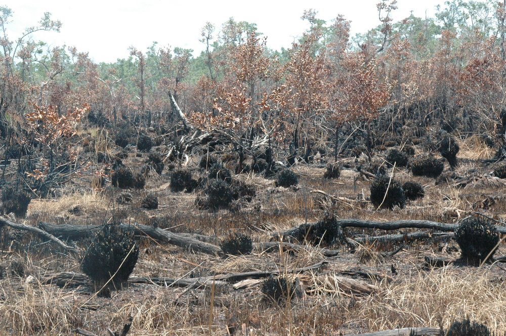 Recently burnt peatland in Kalimantan. Peat is a hydrocarbon, like coal, and once it ignites, it burns not only on the surface, but also deep into the ground, making these fires nearly impossible to put out without the deluge of water that comes when the rainy season begins.  Photo by GAMBUT staff Sherry Panggabean