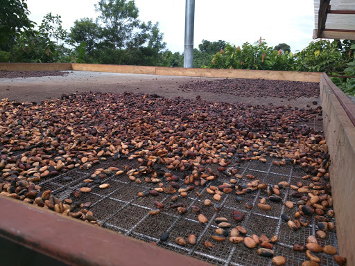 Cocoa drying in PNG.