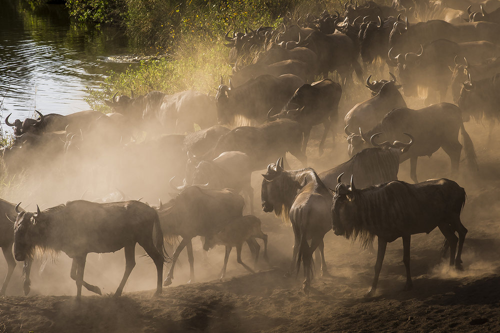 "The great migration of the wildebeests of the Serengeti is one of the largest animal migrations in the world, a unique phenomenon. Twice a year, about two million wildebeests, cross the Serengeti in Tanzania to find their food. They are followed by several hundred thousand zebras and Thomson antelopes. Between the end of January and the month of March, wildebeest herds are concentrated in the southeast of the park. In March-April, the wildebeests leave the great plains of the South to begin an endless walk through the national park, classified ""world heritage"" by Unesco. They return to their starting point 7 to 8 months later. Wildebeests seek the water they need and the green grass (young and tender) that is rich in protein and easier to digest.  Cattle herds and water scarcity threaten the ecosystem. In addition, climate change in the form of rain delay, seems to have changed the old cycle."