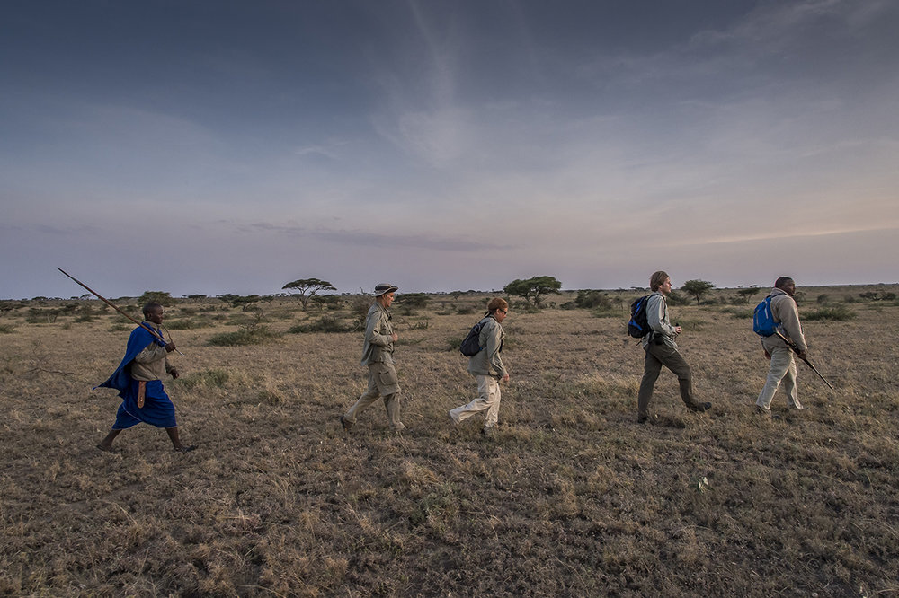 "In the early morning in the eastern part of Serengeti Park. Blessed MPOFU leads a small group of tourists in walking ballads. ""The lions often sit in the reeds and wait for the animals that come to drink,"" the Tanzanian said, pointing to the bank of the nearby river. He firmly holds his winchester, loaded in .458 caliber cartridges. Reassuring for those who accompany her walk into the Serengeti and who quickly can believe to be lion's food. ""Stay close to me,"" said Ncube, as the sun slid slowly over the pale yellow savanna. To communicate, a sign language dispenses only the indispensable orders: stop, slow down, crouch. In the back of the queue, a Masai, as much for the folklore as for its propensity to discern with an impressive acuity the animals to medium and long distance."