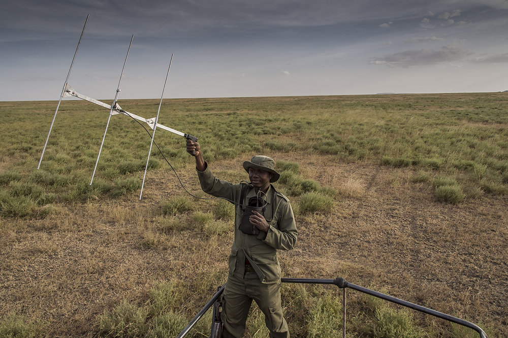 A ranger of the TANAPA anti-poaching unit (Tanzania National Parks) in the Moru region of southern Seregenti is trying to locate a rhinoceros. Standing in the back of the pickup from Moru's headquarters, he brandished an antenna to pick up a radio signal. Rangers implanted a transmitter in the horn of several rhinoceros including that of Rajabu, a massive male rhinoceros over 40 years old, which migrated to the area in 1993 and allowed to repopulate the area. Thanks to the transmitters, the animals are more easily detected and protected.  Rangers can be proud of their work. By the early 1990s, poachers had reduced the Serengeti's rhinoceros population to only two females, until the moment when, from the nearby protected area of gorongoro, Rajabou, a male, migrated. A stroke of luck. Thus, while slaughtering animals in South Africa results in degeneration, the Serengeti population is growing. Currently, five to six pups are born each year.