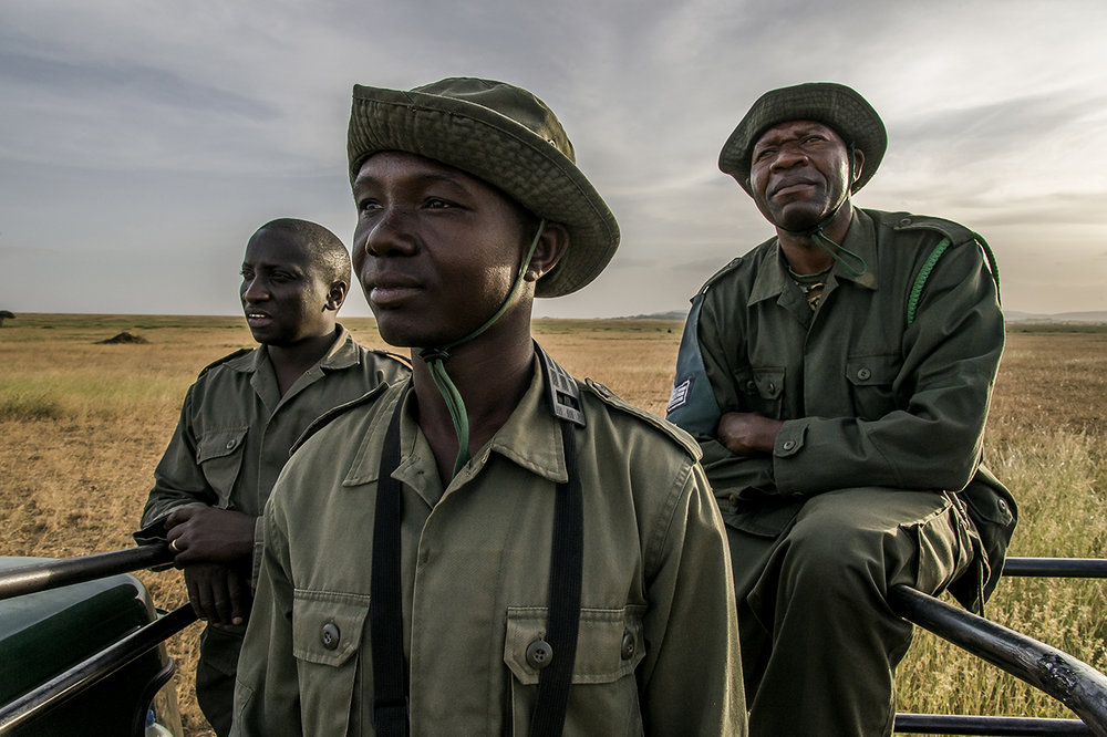 "A group of rangers of the TANAPA anti-poaching unit (Tanzania National Parks) in the Moru region in southern Seregenti, remotely monitors a rhinoceros standing at the back of their pickup from Moru headquarters. 52 rangers control an area of ,000 square kilometers to protect the last 30 black rhinoceros in the south of the Serengeti. The rest of the park is home to 20 other animals. Each of them is a treasure, for to the poachers nothing is as precious as their horn. ""If a poacher can choose between killing a group of elephants or a rhinoceros, he will kill the rhino,"" Ngoti said. ""The price on the black market for the horn, the material of which is similar to that of the nails, is in Vietnam or China at more than $ 10,000 per kilo"".  His men can be proud of their work. By the early 1990s, poachers had reduced the Serengeti's rhinoceros population to only two females, until the moment when, from the nearby protected area of gorongoro, Rajabou, a male migrated to the area in 1993. A stroke of luck. Thus, while slaughtering animals in South Africa results in degeneration, the Serengeti population is growing. Currently, five to six pups are born each year."