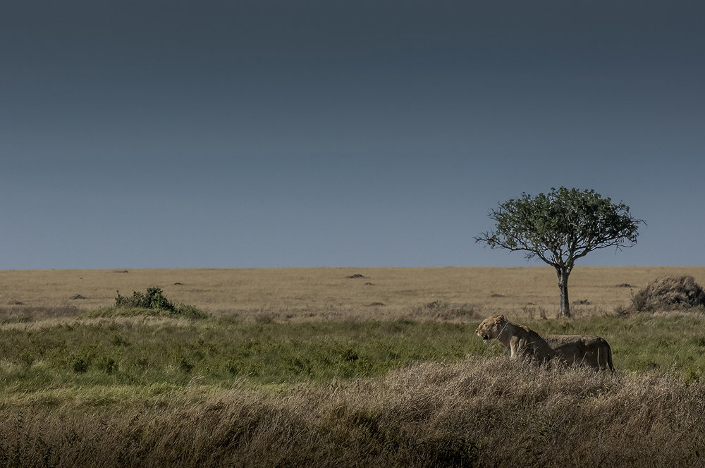 A lioness has just spotted a family of warthogs at some distances, in the plain of the Serengeti. With about 3,000 animals, the Tanzanian National Park is home to one of the largest populations of African lions.