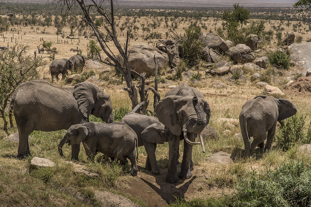 "Unlike most other regions of Africa, the number of elephants in the Serengeti has increased again in recent years through a more effective fight against poaching. By 2014, the elephant population in Serengeti was estimated at 6,000 as against 3,068 five years earlier.  The trend elsewhere in Tanzania is the other way round: in 2009, about 109,000 elephants lived in Tanzania, while a 2014 survey only numbers the population at about 44,000.  Why are the Serengeti figures better? Success seems to be due in part to the 300 rangers patrolling the park. The presence of tourists also help. ""The more people who walk around here, the harder it is for poachers to hide,"" explained Robert Muir, then Director of the Africa Bureau of the Frankfurt Zoological Society in the Serengeti National Park (he changed work since)."