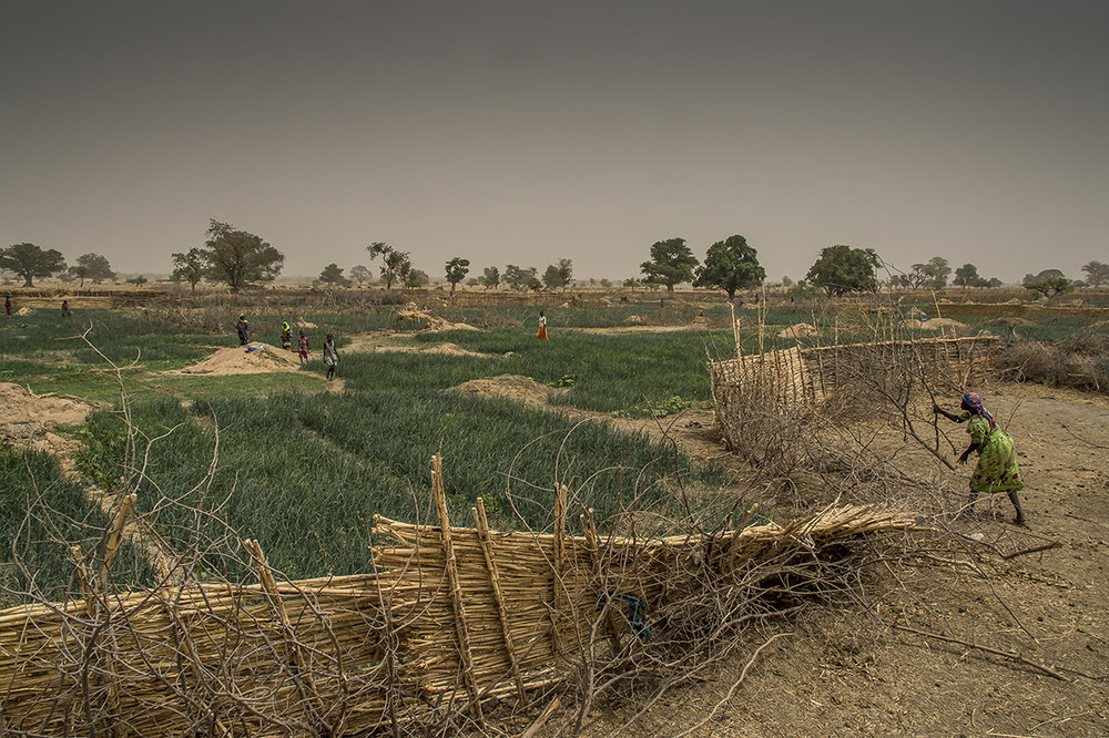 Nakoulouta village, Ouara district. A female farmer throws a thorny bough to fill in a breach in the fence of takiye (fence composed by partition walls made of straw), which surrounds the vegetable farming gardens, to keep at distance the domestic animals, very fond of vegetable and who can devastate the fields.