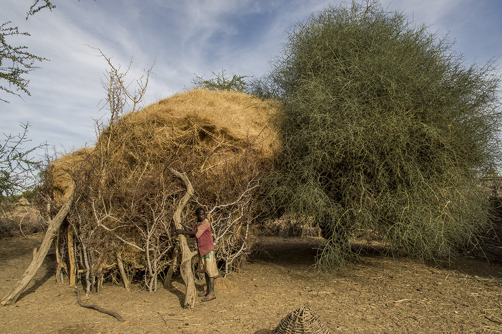 Talhay village, Ouaddaï district. In the hamlet where only the relatives of Ibrahim Abdelkarim, a farmer, live, one of his son reinforce the wooden fence and the thorny tree which support and protect the fodder to feed the animals during the lean period.