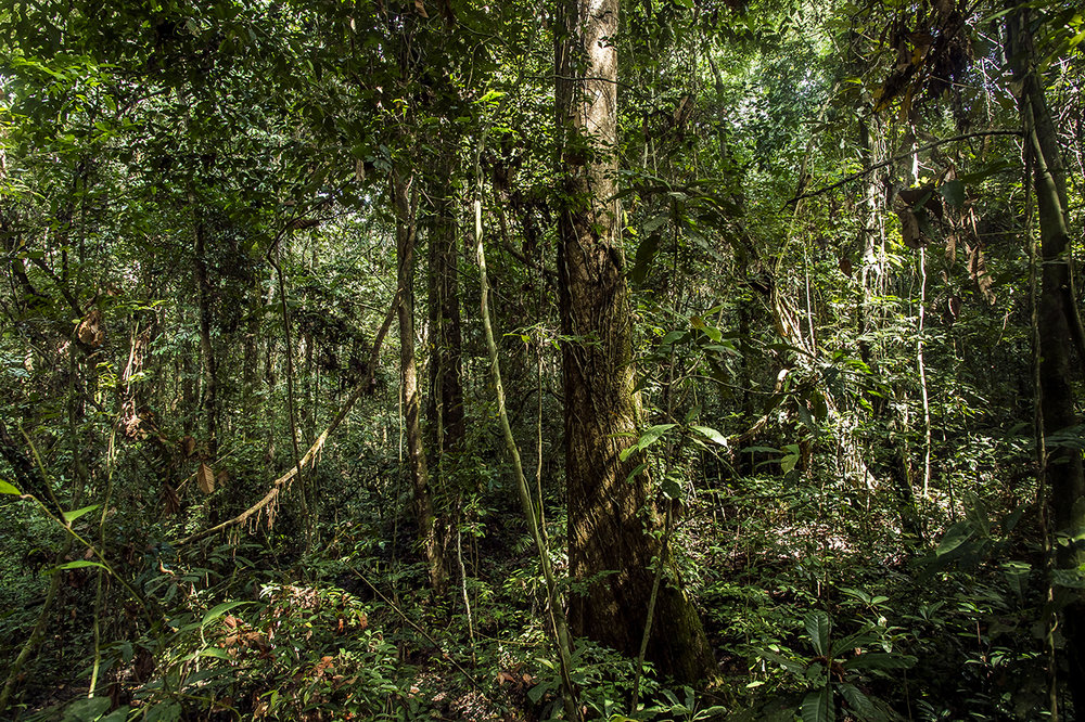 "On the road to ""Camp Boye"", an eco-tourism camp of the Wild Chimpanzee Foundation (WCF), located in the heart of the rainforest in the Taï National Park, named after the city of Taï which lies between its western boundary and the Cavally River, being border between Côte d'Ivoire and Liberia. This national park is located in the west of the country, near Guinea and Liberia. It covers 4,540 km21 around Mount Niénokoué and contains one of the last primary forests in Africa. It has been a UNESCO World Heritage Site since 1982.  From 1977 to 1987, Côte d'Ivoire lost 42% of its entire forest, the highest deforestation rate ever recorded in any country. As a result, primates in the region are particularly threatened. In addition, relict forests have degraded, been fragmented and become poaching grounds. The monkeys, including chimpanzees, are particularly victims, while they are necessary for the regeneration of the forest."