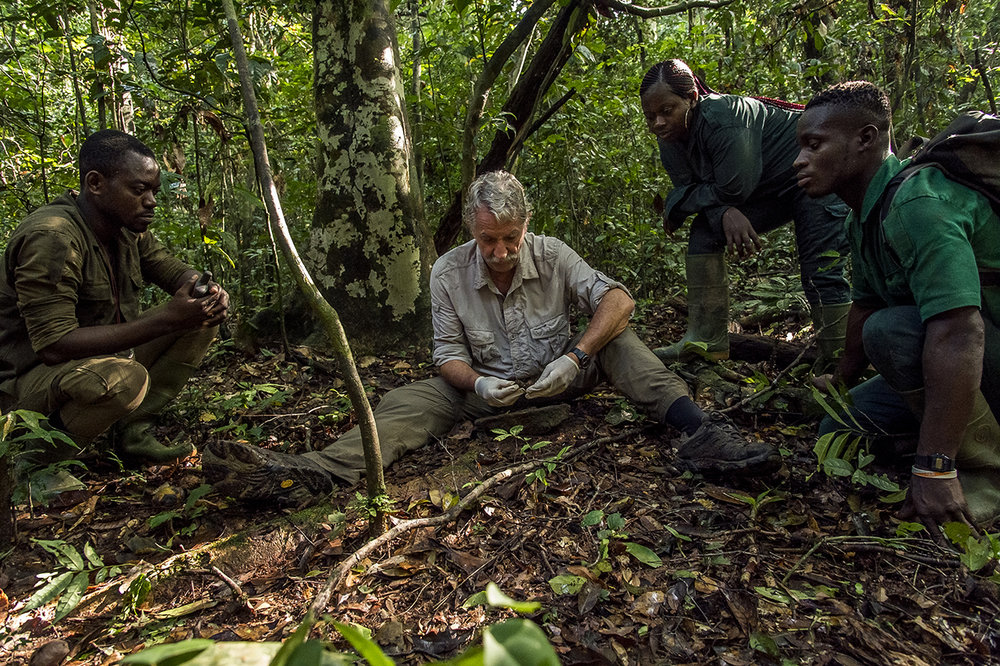 "Christophe Boesch, a Franco-Swiss primatologist, presented a demonstration of walnut breaking to eco-guides of the Wild Chimpanzee Foundation, which he founded in 2000. Since 1976, he has been conducting research in the Taï National Park.  Taï chimpanzees are famous for the nuts they crack using tools. Christophe Boesch first came to Tai because he had heard about this behavior. Now he knows the details. Animals spend two hours a day in spring season cracking shells, using tools: stones or sticks that they use as hammers. They then seek a solid support such as a tree root, which they use as an anvil. They lay the nut on it and open it by hitting it with their ""hammer"".  Each minute they open two of these hard-shell fruits. At the age of five, chimpanzees do their job, thanks to the countless hours of instruction given by their mother.  Taï chimpanzees are known worldwide for using the most tools, 26 in total. To extract almond debris, fish ants or honey, they shape sticks of different sizes and lengths. They break placed on a solid support, with stones or pieces of branch nuts. They make sponges of leaves to drink water."