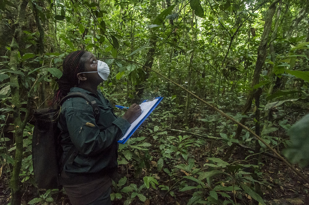 An eco-guide of the Wild Chimpanzee Foundation (WCF), takes notes on the monkeys that she sees above her head in the canopy, in the tropical forest of Tai, in the National Park. Like any person entering primate territory, she wears a surgical mask so as not to transmit human diseases to the animals.