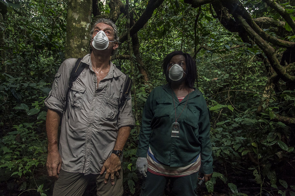 The heat is intense and the humidity suffocating in the rainy forest of Tai. Christophe Boesch, a Franco-Swiss primatologist who has been doing research on chimpanzees since 1976 and an eco-guide of the Wild Chimpanzee Foundation (WCF), observe the monkeys that pass over them in the canopy, in the National Park of Tai. Like any person penetrating the territory of the primates, they wear surgical masks so as not to transmit human diseases to the animals.