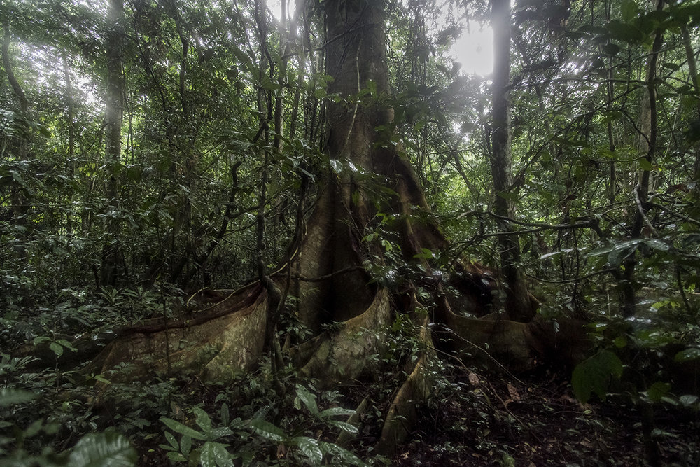A large tree in the Taï rainy forest with its flat, hollow roots. Chimpanzees use them as drums by tapping their roots with fists when they want sex. The continuous rumble can be heard from afar.
