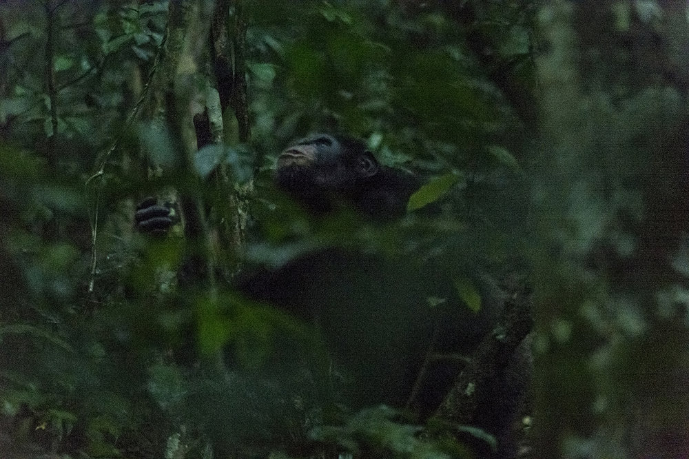 A chimpanzee not completely « used-to-humans » in the forest of Tai. This means that he notices the presence to a human when he is closed and that it incites him to move. About 200,000 chimpanzees live in the tropical belt between Senegal in West Africa and Tanzania / Uganda in East Africa. In 1900, researchers estimate that it was over 1 million. In Côte d'Ivoire, the number of animals has declined by 90% over the last 20 years. In the Taï National Park, the number is estimated at 300 to 500 specimens.